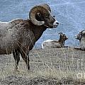Big Horn Sheep 2 by Bob Christopher