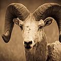 Big Horned Ram by Athena Mckinzie