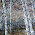 Birch Trees by Rebecca Myers