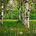 Birches by Hannes Cmarits