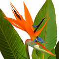 Bird Of Paradise by Peg Urban