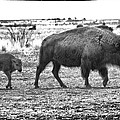 Bison Mother And Calf by Melany Sarafis
