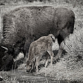 Bison Mother With Newborn by Greg Norrell
