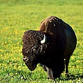 Bison by Walt Sterneman