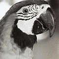Black And White Parrot Beauty by Belinda Lee