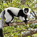 Black And White Ruffed Lemur Madagascar by Konrad Wothe