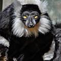 Black And White Ruffed Lemur by Savannah Gibbs