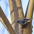 Black And White Warbler by Jack R Perry