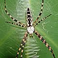 Black And Yellow Garden Spider by Millard H. Sharp