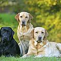 Black And Yellow Labrador Retrievers by John Daniels