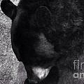 Black Bear Curtsy  by Susan Garren