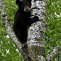 Black Bear  Ursus Americanus by Carol Gregory