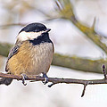 Black Capped Chickadee by Sharon Talson