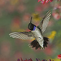 Black-chinned Hummingbird by Gregory Scott