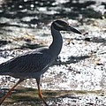 Black-crowned Night-heron by Christiane Schulze Art And Photography