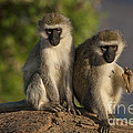 Black-faced Vervet Monkey by John Shaw