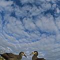 Black-footed Albatross Courtship Dance by Tui De Roy