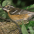 Black-headed Grosbeak Female by Anthony Mercieca