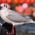 Black-headed Gull by Susie Peek