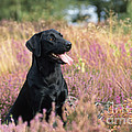 Black Labrador Dog by John Daniels