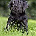 Black Labrador Puppy by Johan De Meester