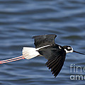 Black-necked Stilt by Anthony Mercieca