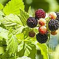 Black Raspberries 2 by Steven Ralser