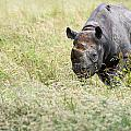Black Rhinoceros Diceros Bicornis Michaeli In Captivity by Matthew Gibson