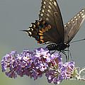 Black Swallowtail Butterfly Feeding by John Van Decker