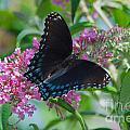 Black Swallowtail Butterfly by Mark Dodd