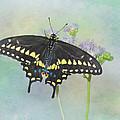 Black Swallowtail by David and Carol Kelly