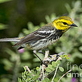Black-throated Green Warbler by Anthony Mercieca