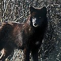 Black Wolf by Neal Eslinger