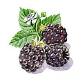 Artz Vitamins Series The Blackberries by Irina Sztukowski