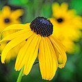 Blackeyed Susan by David Kay