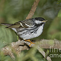 Blackpoll Warbler by Anthony Mercieca