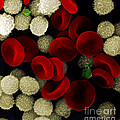 Blood Cells by Stem Jems