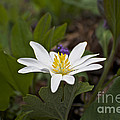 Bloodroot Wildflower - Sanguinaria Canadensis by Mother Nature