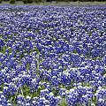 Blue Bonnet Carpet V7 by Douglas Barnard
