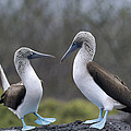 Blue-footed Boobies Courting Galapagos by Tui De Roy
