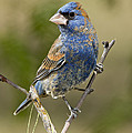 Blue Grosbeak by Anthony Mercieca
