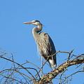 Blue Heron by Eric Johansen
