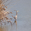Blue Heron In The Wild by Bill Cannon