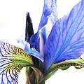 Blue Iris 1 by Gill Piper