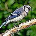 Blue Jay by Ira Runyan