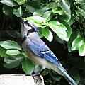 Blue Jay 1 by Jamie  Smith