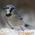 Blue Jay by Ken Keener