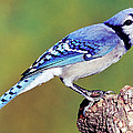 Blue Jay by Millard H. Sharp