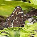Blue Morpho Butterfly  by Michal Boubin