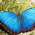 Blue Morpho Butterfly by Millard H. Sharp